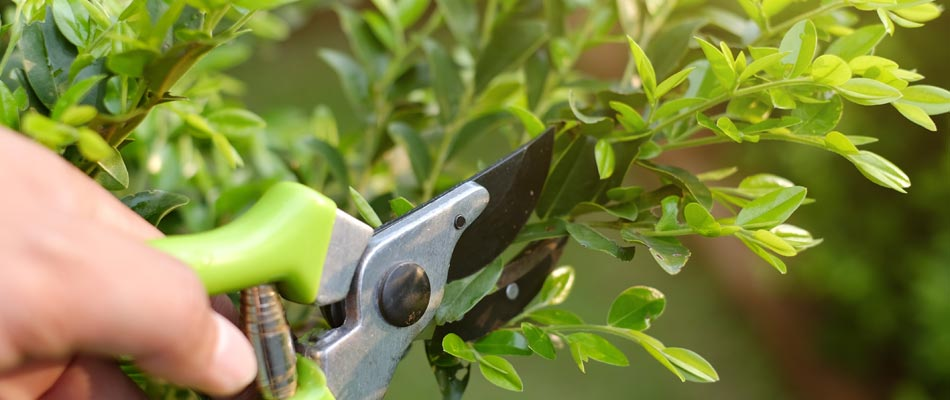 Close up of pruning shears pruning a shrub at a residential property.